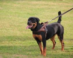 Cosa c'è dietro l'uso delle pettorine per cani?
